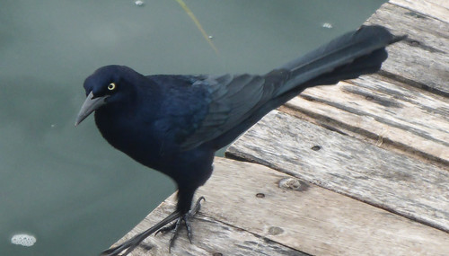 Quiscalis mexicanus (Great-tailed Grackle)
