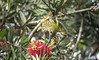 STREAKED SPIDERHUNTER (@ChangLam PHOTOGRAPHY) Tags: bird animal spiderhunter streakedspiderhunter arachnotheramagna arachnothera nectariniidae passeriformes changlamphotography malaysianbirds malaysianbird
