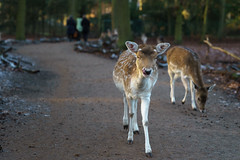 Funny Deer (Jannik Peters) Tags: sony fe gm g master 2470 2470mm 28 f28 review sample deer forest funny