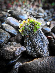 Micro worlds (Feathering the Nest) Tags: moss lichen plant sedums garden stones gravel pebbles winter rain wet damp january 2017