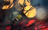 Between Two Fires (aquigabo!) Tags: montreal autumn fall nature city street life aquigabo flora plant leaf green red yellow bokeh canon eos rebel dsrl t5i 700d 50mm traffic lights park depthoffield dof sunset dusk nightfall light shadows blue