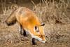 Fox on the hunt (jeffloomis1) Tags: redfox mammal hunting