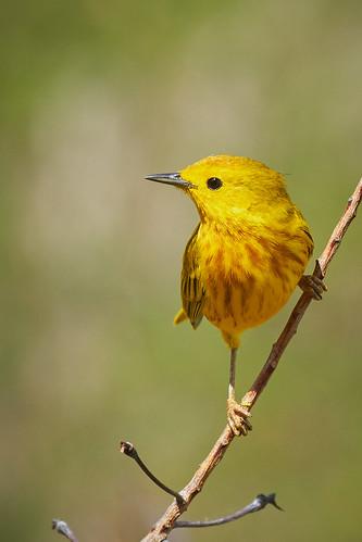 Yellow Warbler 1440