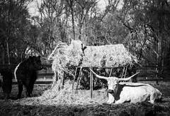 longhorn (Jen MacNeill) Tags: blackandwhite bw bnw cow cattle longhorn hay eating farm bull steer