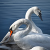 opposti (pamo67) Tags: pamo67 opposites cigni swans 2 two coppia pair bianco white birds piume plumage sinuosità sinuosity lago lake blu acqua water square pasqualemozzillo