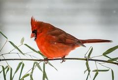 (rstutts44) Tags: northerncardinal cardinal bamboo snow bird