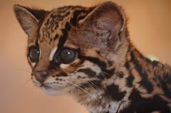 Margay (proyectoasis) Tags: caucel margay wild wildlife animal animales animals costarica cat wildcat felino feline felines salvaje