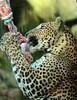 shrilankan panther Burgerszoo JN6A0001 (j.a.kok) Tags: burgerszoo panter luipaard panther leopard shrilankanpanther shrilankanleopard shrilankapanter pantheraparduskotya cat kat mammal predator shrilanka azie asia