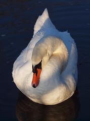 2016_12_0556 (petermit2) Tags: muteswan swan clumberpark clumber sherwoodforest sherwood nottinghamshire nationaltrust nt