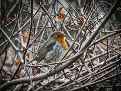 The Voice (Feathering the Nest) Tags: robin tuneful song winter bird january 2017 shrub
