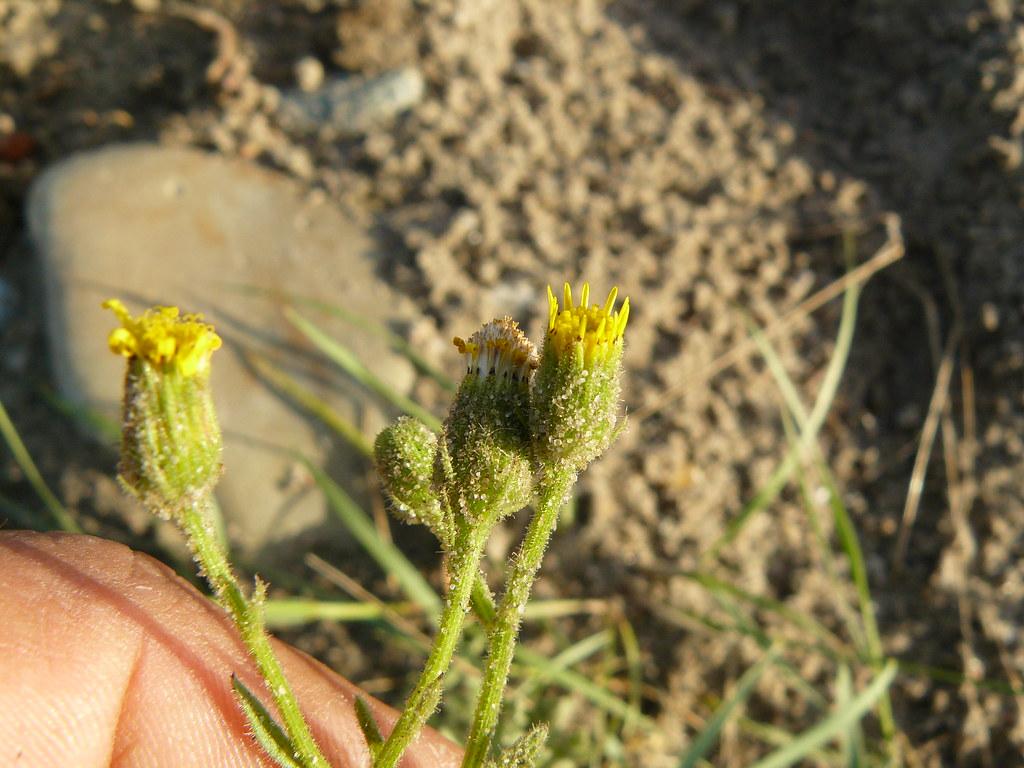Senecio vernalis (2)