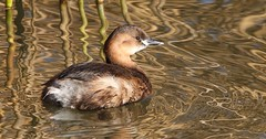 Little Grebe 190117 (5) (Richard Collier - Wildlife and Travel Photography) Tags: littlegrebe birds british wildlife naturalhistory naturethroughthelens ngc