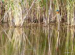 Reflections (Peter J. Ham.) Tags: kingfisher bird life lake water cheshire colour light reeds reflection glassy avies aves