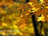 Yellow (colinschwagerphoto) Tags: fall autumn photo photography