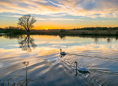 After the Sun (dangerousdavecarper) Tags: pair mute swans water reflection sunset river yare tree