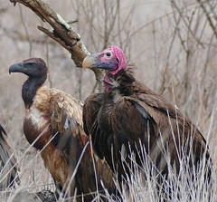 White-backed Vulture (Gyps africanus) and Lappet-faced Vulture (Torgos tracheliotos) near lioness carcass ... (berniedup) Tags: whitebackedvulture gypsafricanus vulture taxonomy:binomial=gypsafricanus bird satara kruger lappetfacedvulture torgostracheliotos taxonomy:binomial=torgostracheliotos