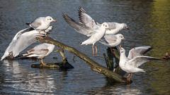 Black-headed Gulls (Maria-H) Tags: dunhammassey england unitedkingdom gb blackheadedgulls chroicocephalusridibundus cheshire uk olympus omdem1markii panasonic 100400