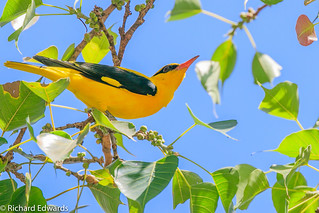 Indian Golden Oriole - * Explore