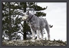 king of the mountain (zawaski) Tags: dogs beauty space ray naturallight noflash dog zawaski©2017 rockymountains portrat calgary love juerg ambientlight canada alberta canmore wood rays canonefs18200mmf3556is