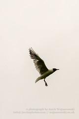 Black headed gull in flight L (Jacek Wojnarowski Photography) Tags: park uk summer england sky bird nature animal vertical bristol europe adult outdoor wildlife bottom right seabird blackheadedgull 6x4 dayphotography brownheadedgull