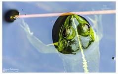 Green Pond Frog || Euphlyctis hexadactylus (shovonrahmaney) Tags: pakistan india green canon garden botanical photography pond wildlife frog national srilanka dhaka bangladesh bangladeshi nationalbotanicalgarden 1216 mirpur 600d aquaticfrog flickraward commonspecies flickrunitedaward greenpondfrog flickraward5 flickrawardgallery euphlyctishexadactylus euphlyctis hexadactylus indiangreenfrog mirpur1216 indianfivefingeredfrog