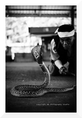 taming the naja (mamuangsuk) Tags: people toxic asian thailand asia cobra snake serpent southeast bang northeast nam isaan naga venom phong baan serpente tamer kingcobra amphoe venimous velenoso kingcobravillage travelimages veneneux mamuangsuk bankhoksanga fascinatinganimals changwatkhonkaen tamingthenaja serpentalunettes khanuat ancestraltraditions