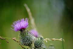 spear thistle (Vijay_ktyely) Tags: