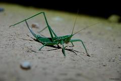 Magicienne dentele - Saga pedo (Mathias Dezetter) Tags: wild nature animal fauna insect wildlife animaux insecte sauterelle garrigue sauvage faune arthropode orthoptre invertbr