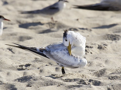 Royal Tern (juvenile) - Thalasseus maximus (Dave Boltz) Tags: birds newjersey royal royaltern capemay tern capemaypointstatepark thalasseusmaximus canont2i