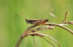 IMG_0212 (Roving_photographer) Tags: france bordeaux cricket bruges grasshopper aquitaine acrididae