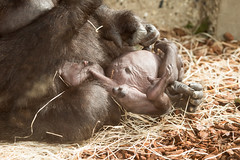 2015-09-21-13h22m07.BL7R3150 (A.J. Haverkamp) Tags: germany penis zoo gorilla hannover zazie genitals dierentuin niedersachsen westelijkelaaglandgorilla canonef100400mmf4556lisusmlens httpwwwzoohannoverde pobmunichgermany pobhannovergermany dob04011983 zazxx dob04092015 dod10112015 podhannovergermany
