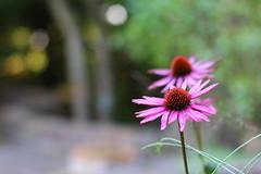 Purple Coneflower (Ernst-Jan de Vries) Tags: flowers flower canon 50mm flora purple bokeh dew bloemen dauw zonnehoed echinaceapurpurea ef50mmf14usm rodezonnehoed ernstjandevries canoneos60d