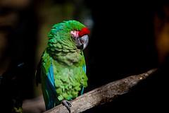 BLIJDORP20151001_©arievantilborg-0046 (Arie van Tilborg) Tags: zoo blijdorp macaw ara blijdorpzoo papegaai diergaardeblijdorp rotterdamzoo