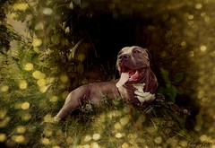 2015-13-9--01-20-57 (pantera photo) Tags: pets dogs nature pitbull perros animales pitbullterrier