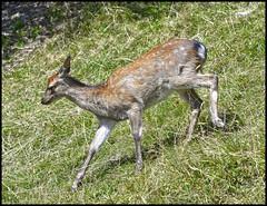 Faon  fond (wilphid) Tags: montagne animaux parc montblanc sauvage hautesavoie faune leshouches parcdemerlet