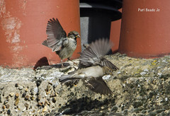 Chimney Pot Sparrows (@JBOccyTherapy) Tags: roof chimney urban house bird home nature birds fly fight wings wildlife flock feathers sparrows birdwatching spadge flit spuggie
