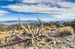 preview of the Bristlecone pines.