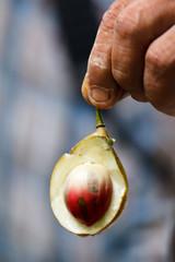 Nutmeg (RunningRalph) Tags: sumatra indonesia spice kruiden indonesi nutmeg sumatera sumaterautara nootmuskaat siabu