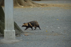 DSC_1515 (My many travels) Tags: japan tokyo shrine shibuya tanuki   raccoon  shinto meiji jingu
