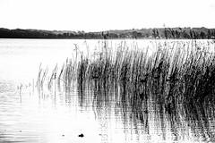 Esrum Lake, Denmark (Facebook: TsPhotography.UE) Tags: blackandwhite lake nature monochrome landscape mono blackwhite graphic natur danmark skov landskab grafisk 2015 s svampe ndebo efterr sorthvid sortoghvid esrums visitdenmark monoart landskabsfotografi govisitdenmark