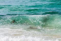 Turtle Beach, Oahu - 7 (www.bazpics.com) Tags: ocean sea usa fish green beach water rock america island hawaii coast us sand surf waves unitedstates pacific oahu outdoor turtle north wave surfing riding turtles hawaiian coastline hi haleiwa