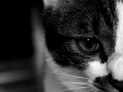 _MG_9009_2 (Irisasa815) Tags: pet animal cat dark hongkong eyes kittens depthoffield   oribu
