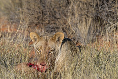 Lion's dinner (Phineas_Gage) Tags: canon lion 300mm l namibia kalahari f4 fd extender 14x