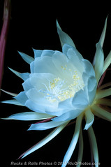 HZP_0797-2 (Ric Quintanilla) Tags: cereus nightblooming
