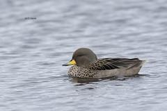 Speckled Teal (featherweight2009) Tags: birds ducks waterfowl falklandislands teals speckledteal anasflavirostris