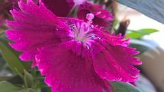 Flores (Victor4Hugo2) Tags: pink windows macro phone no filter jardim microsoft dreams xl 640 lumia rosachoque