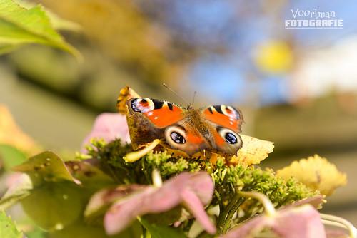 vlinder-VF-1-2