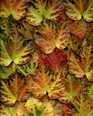 57027.01 Parthenocissus tricuspidata (horticultural art) Tags: fallleaves fall leaves pattern fallcolor parthenocissus bostonivy parthenocissustricuspidata horticulturalart