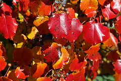 last color of autumn (scott1346) Tags: light red orange tree fall colors beauty leaves sunshine yellow season gold bradford bright pear 1001nights absorption 1001nightsmagiccity