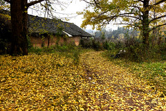 Ginkgo Village (MelindaChan ^..^) Tags: china autumn plant tree fall leaves yellow ginkgo village guilin mel 銀杏 guangxi 桂林 廣西 chanmelmel mleinda melindachan 小平樂 海洋鄉